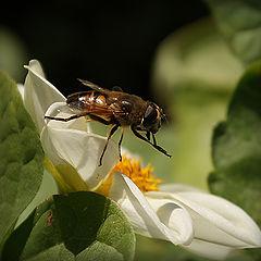 "photo ""макро,муха,цветы"""