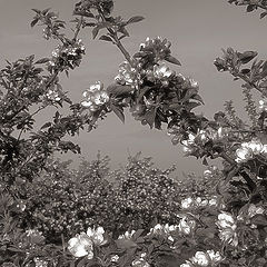 "фото ""Apple trees bloom"""
