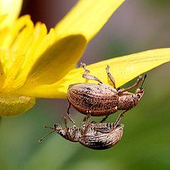 """photo """"макро,насекомые,долгоносики,природа"""""""