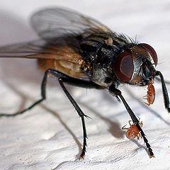 """photo """"макро,насекомые,муха"""""""