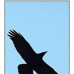 "photo ""Raven"""