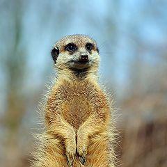 """photo """"Meerkat"""""""