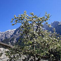 "фото ""Альпийская вишня"""