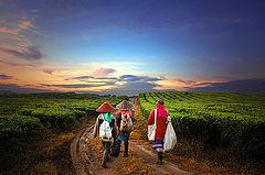 "photo ""Tea farmer"""