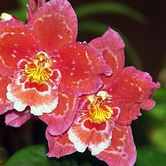 """photo """"Orchid"""""""