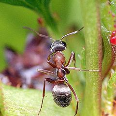"""photo """"макро,муравей,насекомые"""""""