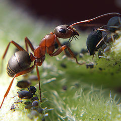 "photo ""макро,муравей,тля"""