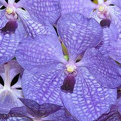 "photo ""Vanda Orchid."""