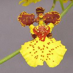 "photo ""Oncidium Orchid"""