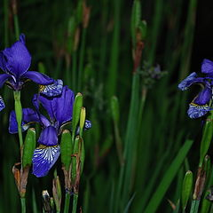 "photo ""Iris"""