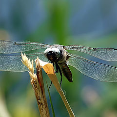 "фото ""Male Black-tailed Skimmer"""