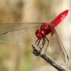"photo ""Crocothemis erythraea"""