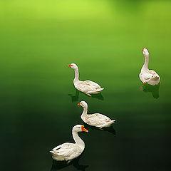 "photo ""4 Swan"""