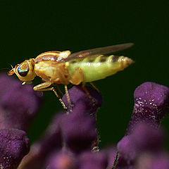"photo ""Flye on ""Buddleja davidii"""""