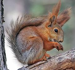 """photo """"Squirrel"""""""