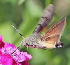 """photo """"Butterfly. Brazhnik"""""""