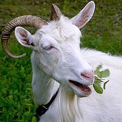 """photo """"Portrait of a white goat."""""""