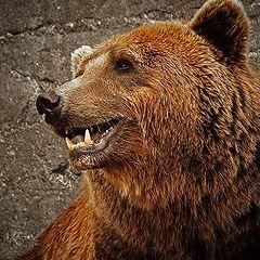 """photo """"Ursus arctos"""""""