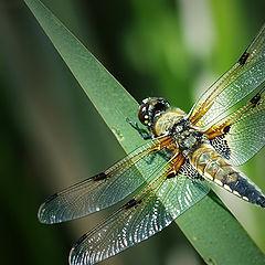 """photo """"Libellula quadrimaculata"""""""
