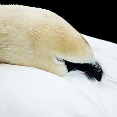 """фото """"Спящий лебедь"""""""