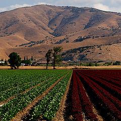 "фото ""Crops, 2 Colors"""