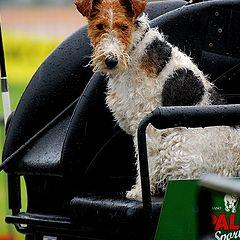"""фото """"VIP dog"""""""