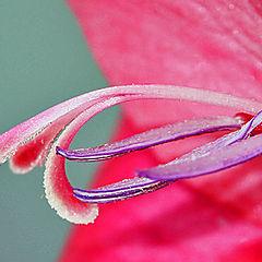 """photo """"Gladioli"""""""