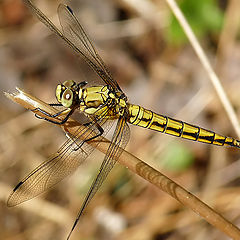 "фото ""Orthetrum cancellatum -Female Black-tailed Skimmer"""