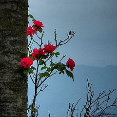"""фото """"Увитая розой"""""""