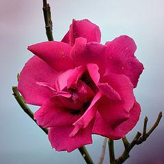 """photo """"Дикая роза"""""""