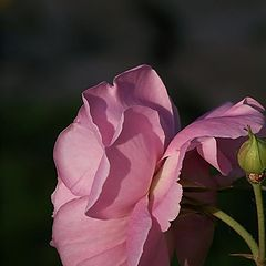 "фото ""Розовая. Нежная. Утренняя."""