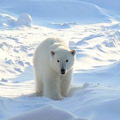 "фото ""Белый медведь"""