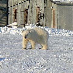 """фото """"Дикий медведь"""""""