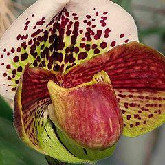 """photo """"Paphiopedilum Orchid."""""""