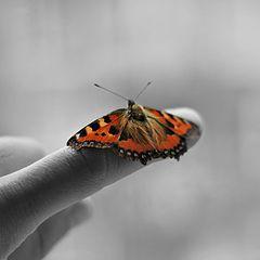 """фото """"papillon"""""""