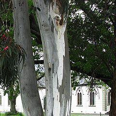 """photo """"Eucalyptus Tree Bark"""""""