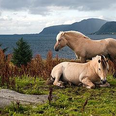 """фото """"Грустные норвежские лошадки"""""""