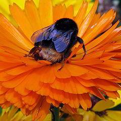 """photo """"Bumble Bee on Marigold."""""""