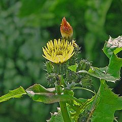 """photo """"Milk Thistle Flower and Buds."""""""