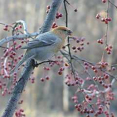 "photo ""Pine Grosbeak"""