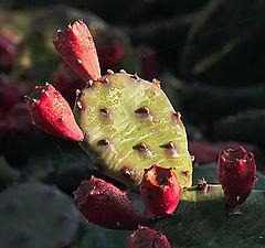 "фото ""Ладошка кактуса"""