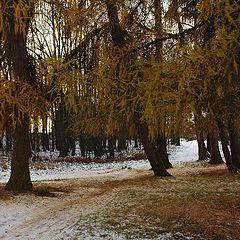 """фото """"тропинка между лиственниц"""""""