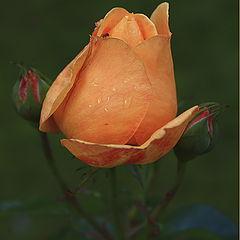 "photo ""Autumn rose"""