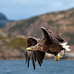 """photo """"White Tailed Eagles."""""""