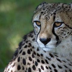"photo ""Look of a cheetah"""