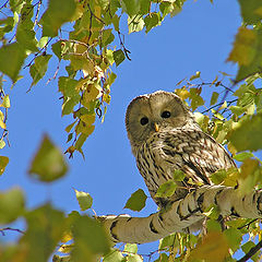 "photo ""Ural owl"""