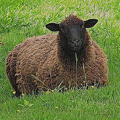 """photo """"Baa Baa Black Sheep....."""""""