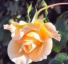 """фото """"Роза для вас"""""""