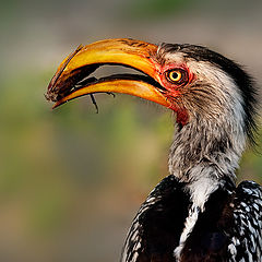 """photo """"Southern yellow-billed hornbill"""""""
