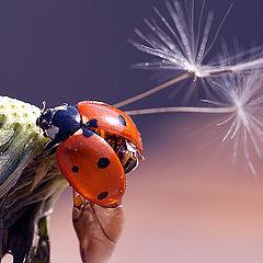 """photo """"макро,божья коровка,насекомые"""""""